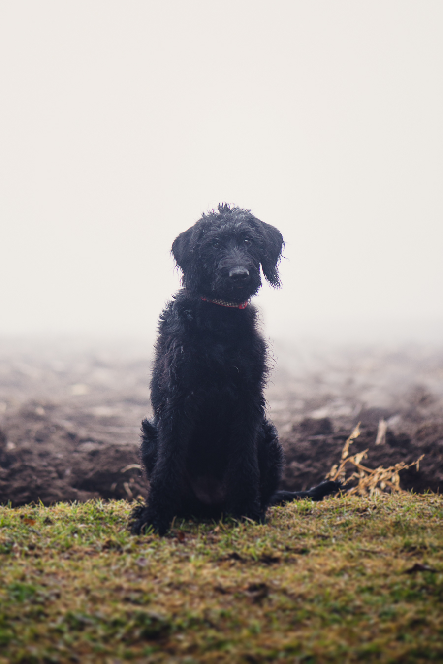 Disney The Black Labradoodle Puppy Alleycat Photography