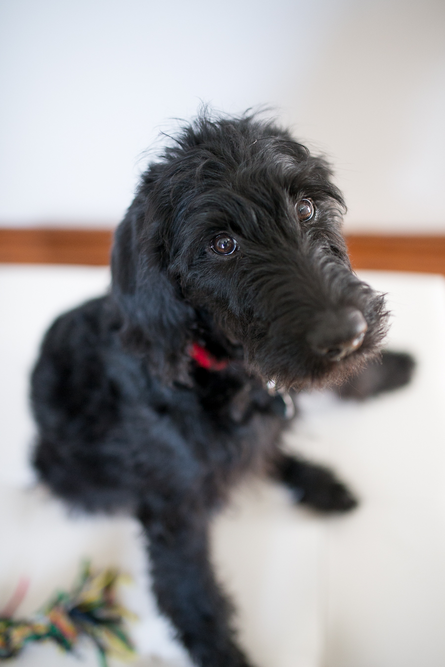 Disney The One Year Old Black Labradoodle Alleycat