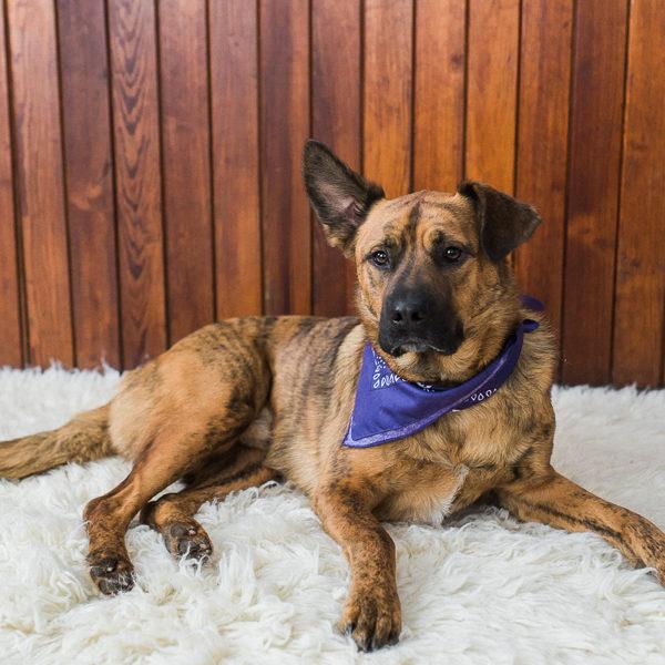 duke, the german shepherd mix