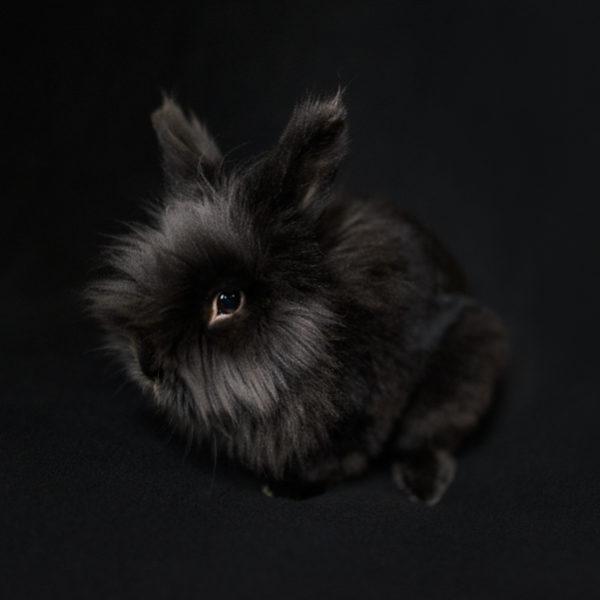 simon, the lionhead rabbit